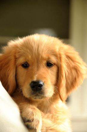 golden retriever chiot
